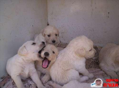 מסודר גורי כלבים גולדן רטריבר למסירה בבת עין - מודעה 233961 XT-51