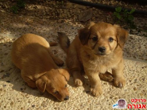 כולם חדשים שלושה גורי כלבים מתוקים למסירה בבאר שבע - מודעה 241072 DY-21