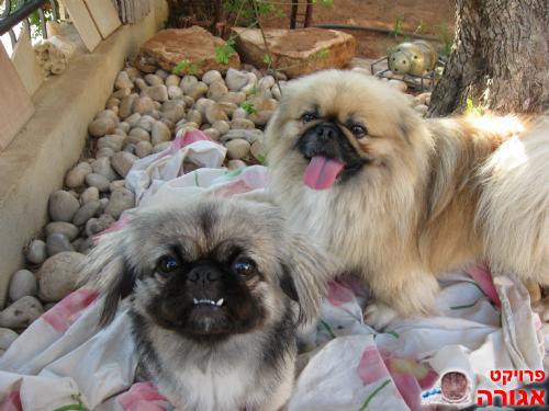 מודרניסטית תמונה של 2 כלבי פקינז מהממית!!!!!!!!!!! - מודעה 337315 YP-48
