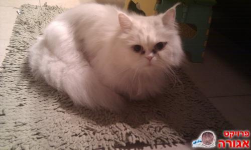 מודרניסטית תמונה של חתול פרסי לבן יפיפה מסורס ומחוסן בן 2 - מודעה 501769 WS-87