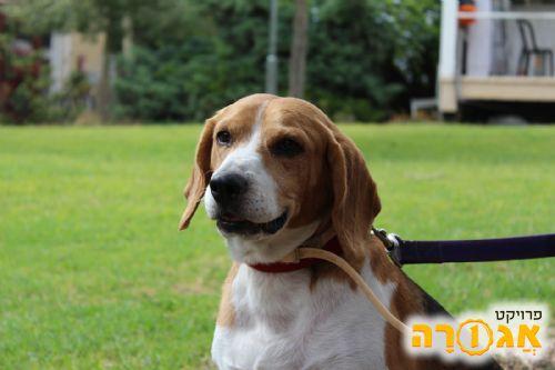 טוב מאוד תמונה של כלב בית יפיפה מאולף וידידותי מסוג ביגל - מודעה 1156456 TW-12