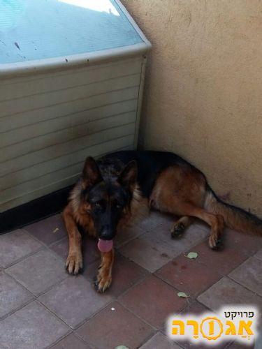 מדהים תמונה של כלב רועה גרמני - מודעה 1514527 PR-57