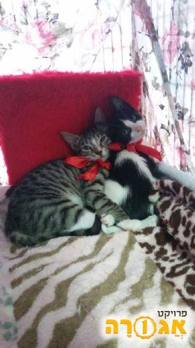 למסירהגורות וגורי חתלתולים