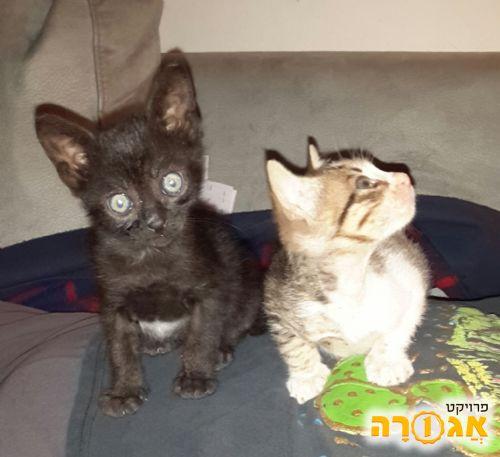 גורי חתולים נקבה וזכר