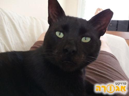 חתול שחור עדין ושקט