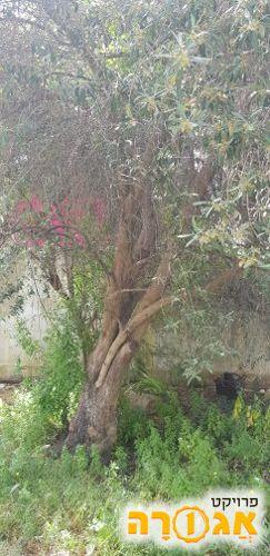 עצי זית ורימון ותות עץ גדול!