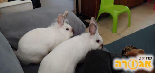 זוג ארנבות ראש אריה לבנות