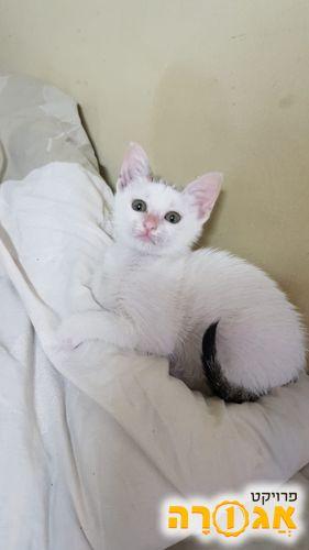 חתלתולה לבנה