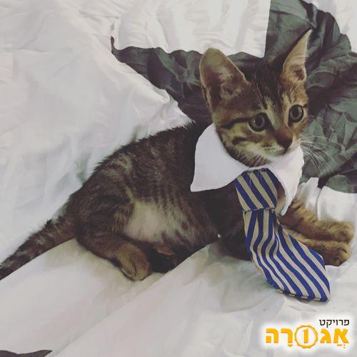 גור חתולים נסיך