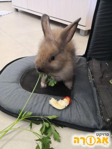 ארנבון מקסים למסירה מבית הצלה